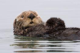California sea otter - Wikimedia commons,